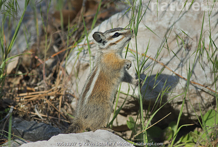 Palmer's Chipmunk (Tamias palmeri) foraging, Spring Mountains, Nevada  ,  Adult, Color Image, Day, Endangered Species, Foraging, Full Length, Horizontal, Nevada, Nobody, One Animal, Outdoors, Palmer's Chipmunk, Photography, Side View, Spring Mountains, Standing, Tamias palmeri, Wildlife,Palmer's Chipmunk,Nevada, USA  ,  Kevin Schafer