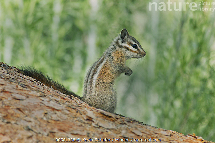 Palmer's Chipmunk (Tamias palmeri), Spring Mountains, Nevada, Adult, Color Image, Day, Endangered Species, Full Length, Horizontal, Nevada, Nobody, One Animal, Outdoors, Palmer's Chipmunk, Photography, Side View, Spring Mountains, Tamias palmeri, Wildlife,Palmer's Chipmunk,Nevada, USA, Kevin Schafer