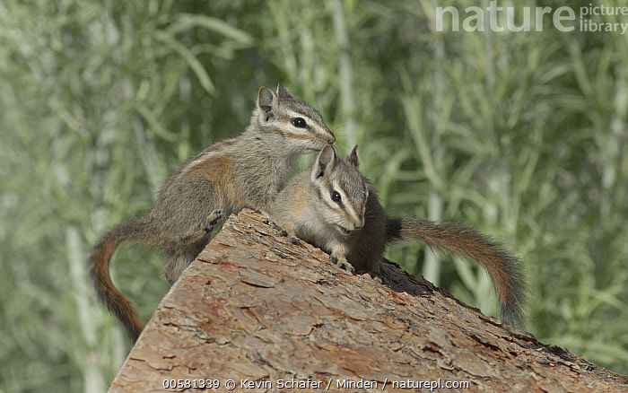 Palmer's Chipmunk (Tamias palmeri) pair, Spring Mountains, Nevada  ,  Adult, Color Image, Day, Endangered Species, Front View, Full Length, Horizontal, Nevada, Nobody, Outdoors, Palmer's Chipmunk, Photography, Side View, Spring Mountains, Tamias palmeri, Two Animals, Wildlife,Palmer's Chipmunk,Nevada, USA  ,  Kevin Schafer