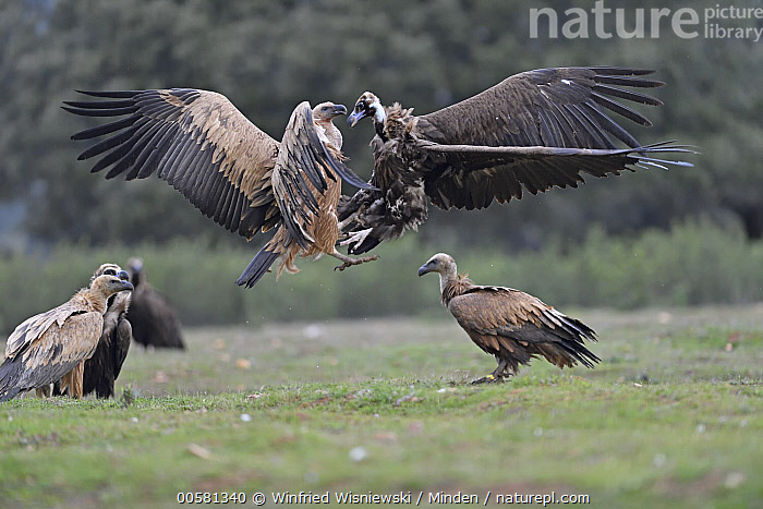 Eurasian Black Vulture (Aegypius monachus) and Griffon Vulture (Gyps fulvus) fighting at feeding station, Extremadura, Spain, Adult, Aegypius monachus, Color Image, Competition, Day, Eurasian Black Vulture, Extremadura, Feeding Station, Fighting, Flying, Full Length, Griffon Vulture, Gyps fulvus, Horizontal, Interacting, Medium Group of Animals, Mixed, Nobody, Outdoors, Photography, Raptor, Side View, Spain, Wildlife,Eurasian Black Vulture,Griffon Vulture,Gyps fulvus,Spain, Winfried Wisniewski