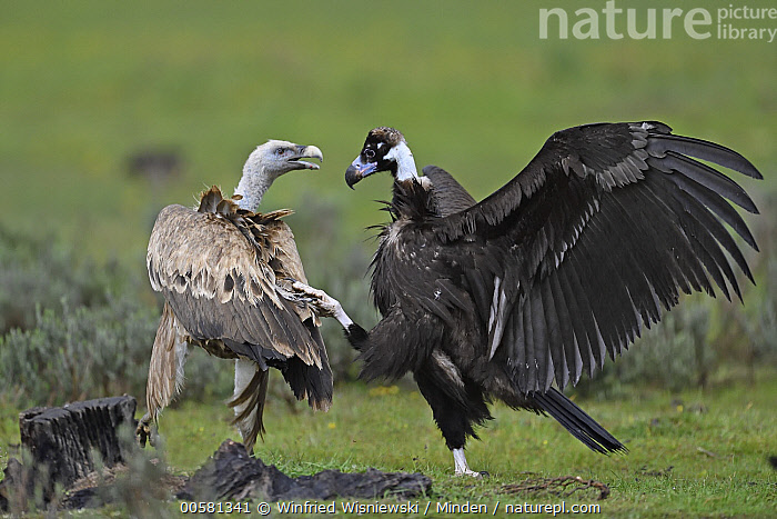 Eurasian Black Vulture (Aegypius monachus) and Griffon Vulture (Gyps fulvus) fighting at feeding station, Extremadura, Spain, Adult, Aegypius monachus, Color Image, Competition, Day, Eurasian Black Vulture, Extremadura, Feeding Station, Fighting, Full Length, Griffon Vulture, Gyps fulvus, Horizontal, Interacting, Mixed, Nobody, Outdoors, Photography, Raptor, Rear View, Side View, Spain, Spreading Wings, Two Animals, Wildlife,Eurasian Black Vulture,Griffon Vulture,Gyps fulvus,Spain, Winfried Wisniewski