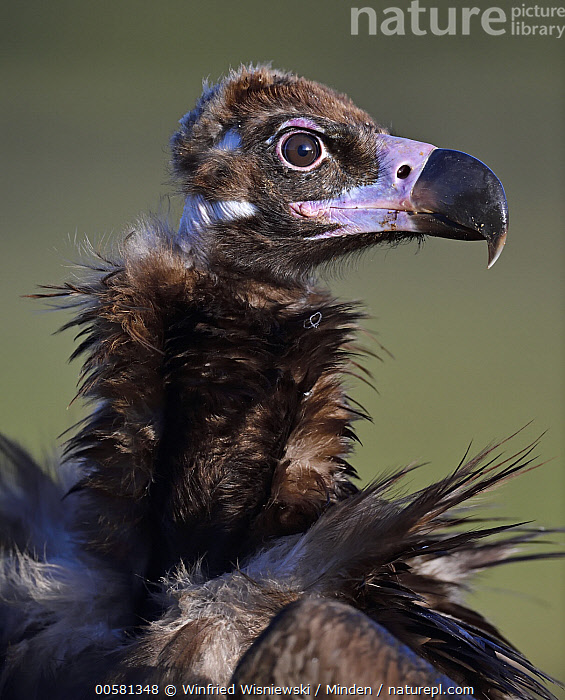 Eurasian Black Vulture (Aegypius monachus) at feeding station, Extremadura, Spain  ,  Adult, Aegypius monachus, Color Image, Day, Eurasian Black Vulture, Extremadura, Feeding Station, Head and Shoulders, Nobody, One Animal, Outdoors, Photography, Portrait, Profile, Raptor, Side View, Spain, Ugly, Vertical, Wildlife,Eurasian Black Vulture,Spain  ,  Winfried Wisniewski