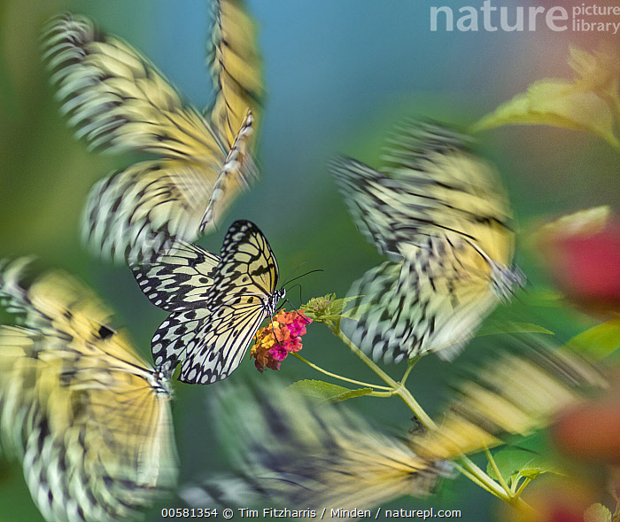 Paper Kite (Idea leuconoe) butterflies flying, Philippines  ,  Adult, Blurred Motion, Butterfly, Color Image, Day, Five Animals, Flying, Full Length, Horizontal, Idea leuconoe, Nobody, Outdoors, Paper Kite, Philippines, Photography, Side View, Square, Three Quarter Length, Wildlife,Paper Kite,Philippines  ,  Tim Fitzharris