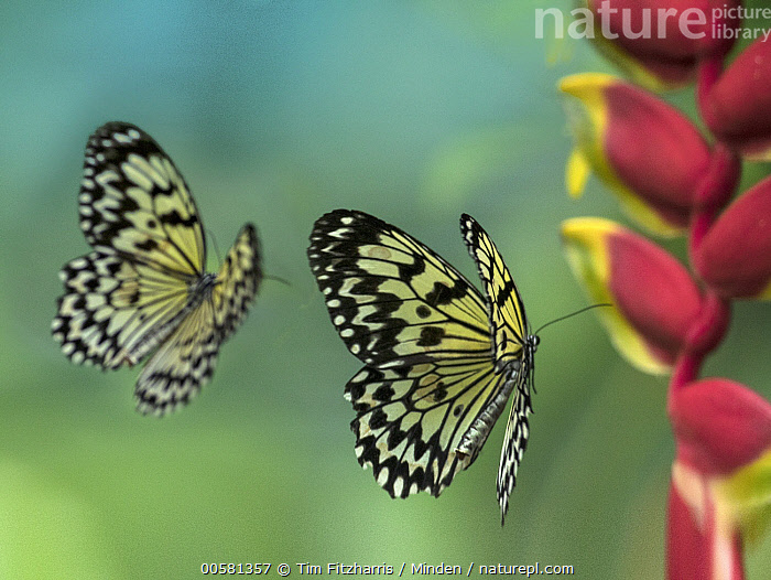 Paper Kite (Idea leuconoe) butterflies flying, Philippines  ,  Adult, Butterfly, Color Image, Day, Flying, Full Length, Horizontal, Idea leuconoe, Nobody, Outdoors, Paper Kite, Philippines, Photography, Side View, Two Animals, Wildlife,Paper Kite,Philippines  ,  Tim Fitzharris
