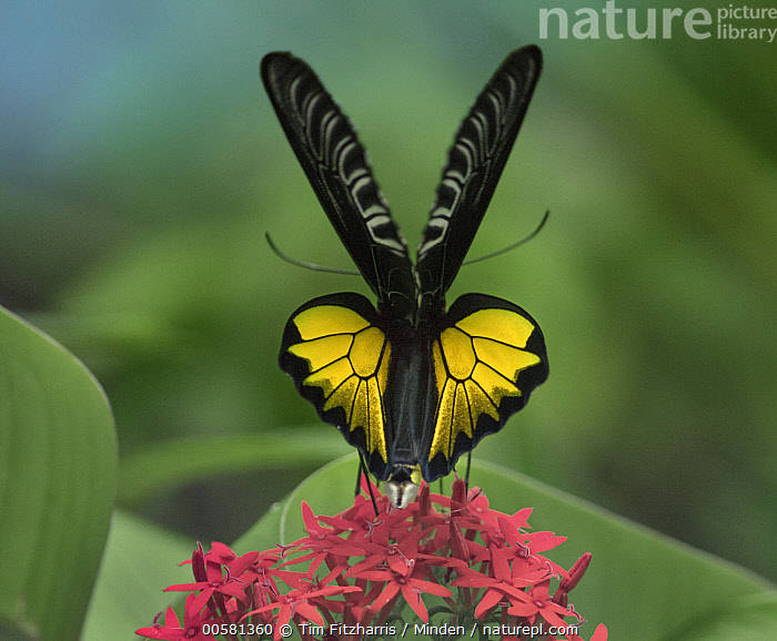 Birdwing Butterfly (Troides sp) showing aposematic coloration, Philippines  ,  Adult, Aposematic Coloration, Birdwing Butterfly, Color Image, Day, Full Length, Horizontal, Nobody, One Animal, Outdoors, Philippines, Photography, Rear View, Square, Troides sp, Wildlife,Birdwing Butterfly,Philippines  ,  Tim Fitzharris