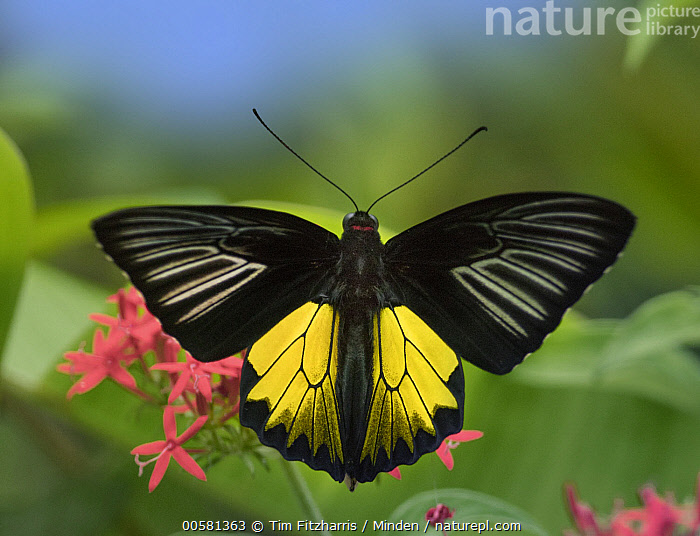 Birdwing Butterfly (Troides sp) showing aposematic coloration, Philippines, Adult, Aposematic Coloration, Birdwing Butterfly, Color Image, Day, Full Length, Horizontal, Nobody, One Animal, Outdoors, Philippines, Photography, Top View, Troides sp, Wildlife,Birdwing Butterfly,Philippines, Tim Fitzharris