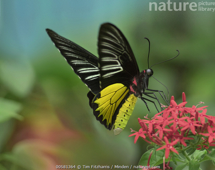 Birdwing Butterfly (Troides sp) showing aposematic coloration, Philippines  ,  Adult, Aposematic Coloration, Birdwing Butterfly, Color Image, Day, Full Length, Horizontal, Nobody, One Animal, Outdoors, Philippines, Photography, Side View, Troides sp, Wildlife, Yellow,Birdwing Butterfly,Philippines  ,  Tim Fitzharris