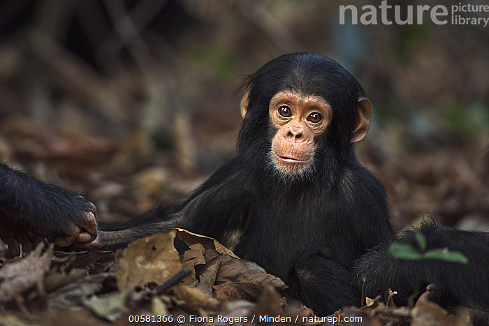 Eastern Chimpanzee (Pan troglodytes schweinfurthii) ten month old baby male, named Shwali, Gombe National Park, Tanzania, Baby, Color Image, Cute, Day, Eastern Chimpanzee, Endangered Species, Front View, Full Length, Gombe National Park, Horizontal, Looking at Camera, Male, Nobody, One Animal, Outdoors, Pan troglodytes schweinfurthii, Photography, Tanzania, Wildlife, Young,Eastern Chimpanzee,Tanzania, Fiona Rogers