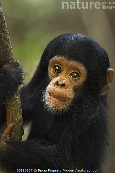 Eastern Chimpanzee (Pan troglodytes schweinfurthii) ten month old baby male, named Shwali, Gombe National Park, Tanzania  ,  Baby, Color Image, Cute, Day, Eastern Chimpanzee, Endangered Species, Gombe National Park, Looking at Camera, Male, Nobody, One Animal, Outdoors, Pan troglodytes schweinfurthii, Photography, Side View, Tanzania, Vertical, Waist Up, Wildlife, Young,Eastern Chimpanzee,Tanzania  ,  Fiona Rogers