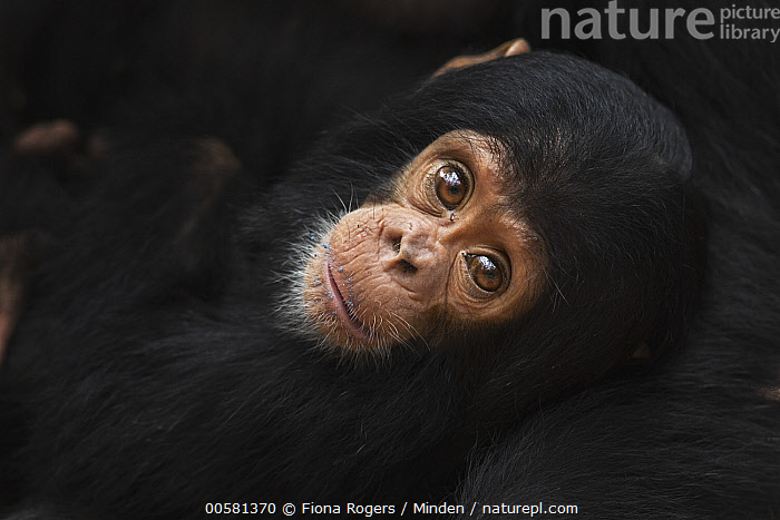 Eastern Chimpanzee (Pan troglodytes schweinfurthii) ten month old baby male, named Shwali, Gombe National Park, Tanzania  ,  Baby, Color Image, Cute, Day, Eastern Chimpanzee, Endangered Species, Gombe National Park, Horizontal, Looking at Camera, Male, Nobody, Outdoors, Pan troglodytes schweinfurthii, Photography, Side View, Tanzania, Two Animals, Waist Up, Wildlife, Young,Eastern Chimpanzee,Tanzania  ,  Fiona Rogers