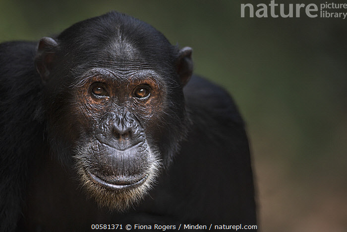 Eastern Chimpanzee (Pan troglodytes schweinfurthii) eighteen year old male, named Zeus, Gombe National Park, Tanzania  ,  Adult, Color Image, Day, Eastern Chimpanzee, Endangered Species, Front View, Gombe National Park, Head and Shoulders, Horizontal, Looking at Camera, Male, Nobody, One Animal, Outdoors, Pan troglodytes schweinfurthii, Photography, Portrait, Tanzania, Wildlife,Eastern Chimpanzee,Tanzania  ,  Fiona Rogers