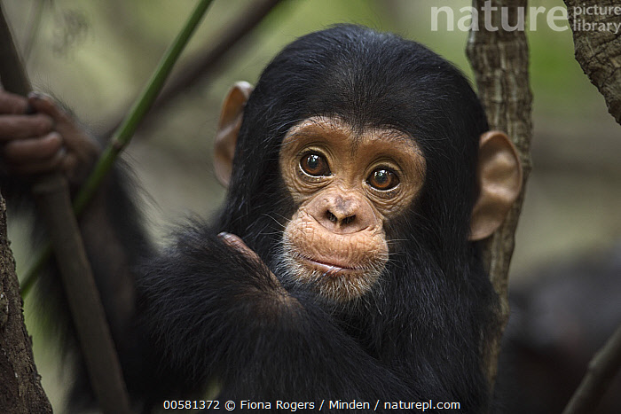 Eastern Chimpanzee (Pan troglodytes schweinfurthii) ten month old baby male, named Shwali, Gombe National Park, Tanzania  ,  Baby, Color Image, Cute, Day, Eastern Chimpanzee, Endangered Species, Front View, Gombe National Park, Head and Shoulders, Horizontal, Looking at Camera, Male, Nobody, One Animal, Outdoors, Pan troglodytes schweinfurthii, Photography, Portrait, Tanzania, Wildlife, Young,Eastern Chimpanzee,Tanzania  ,  Fiona Rogers