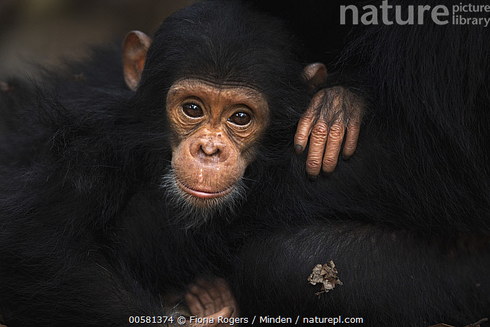 Eastern Chimpanzee (Pan troglodytes schweinfurthii) sixteen month old baby female, named Gossamer, Gombe National Park, Tanzania  ,  Baby, Color Image, Cute, Day, Eastern Chimpanzee, Endangered Species, Female, Front View, Gombe National Park, Horizontal, Looking at Camera, Nobody, Outdoors, Pan troglodytes schweinfurthii, Photography, Tanzania, Two Animals, Waist Up, Wildlife, Young,Eastern Chimpanzee,Tanzania  ,  Fiona Rogers