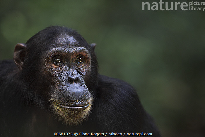 Eastern Chimpanzee (Pan troglodytes schweinfurthii) eighteen year old male, named Zeus, Gombe National Park, Tanzania  ,  Adult, Color Image, Day, Eastern Chimpanzee, Endangered Species, Front View, Gombe National Park, Head and Shoulders, Horizontal, Male, Nobody, One Animal, Outdoors, Pan troglodytes schweinfurthii, Photography, Portrait, Profile, Tanzania, Wildlife,Eastern Chimpanzee,Tanzania  ,  Fiona Rogers
