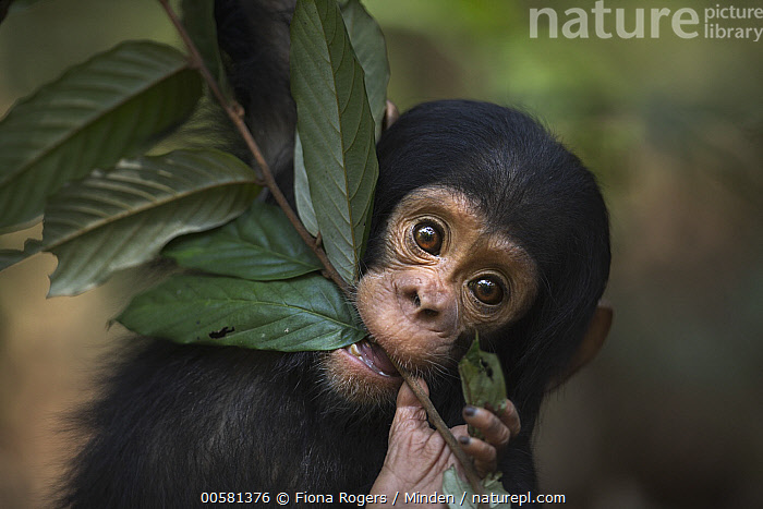 Eastern Chimpanzee (Pan troglodytes schweinfurthii) ten month old baby male, named Shwali, playing with leaf, Gombe National Park, Tanzania  ,  Baby, Biting, Color Image, Cute, Day, Eastern Chimpanzee, Endangered Species, Front View, Gombe National Park, Horizontal, Looking at Camera, Male, Nobody, One Animal, Outdoors, Pan troglodytes schweinfurthii, Photography, Playing, Tanzania, Waist Up, Wildlife, Young,Eastern Chimpanzee,Tanzania  ,  Fiona Rogers