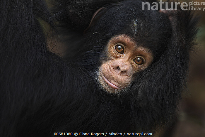 Eastern Chimpanzee (Pan troglodytes schweinfurthii) ten month old baby male, named Shwali, Gombe National Park, Tanzania  ,  Baby, Color Image, Cute, Day, Eastern Chimpanzee, Endangered Species, Front View, Gombe National Park, Horizontal, Looking at Camera, Male, Nobody, Outdoors, Pan troglodytes schweinfurthii, Photography, Tanzania, Two Animals, Waist Up, Wildlife, Young,Eastern Chimpanzee,Tanzania  ,  Fiona Rogers