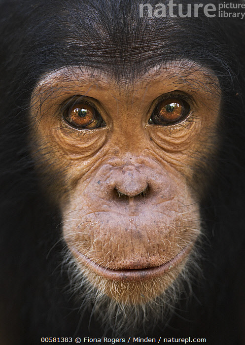 Eastern Chimpanzee (Pan troglodytes schweinfurthii) five year old juvenile female, named Fadhila, Gombe National Park, Tanzania, Color Image, Day, Eastern Chimpanzee, Endangered Species, Female, Front View, Gombe National Park, Head, Juvenile, Looking at Camera, Nobody, One Animal, Outdoors, Pan troglodytes schweinfurthii, Photography, Portrait, Tanzania, Vertical, Wildlife,Eastern Chimpanzee,Tanzania, Fiona Rogers