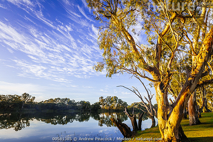 Gum Tree (Eucalyptus sp) group along river, Murray River, South Australia, Australia, Australia, Blue Sky, Color Image, Day, Eucalyptus sp, Gum Tree, Horizontal, Landscape, Murray River, Nobody, Outdoors, Photography, River, South Australia,Gum Tree,Australia, Andrew Peacock