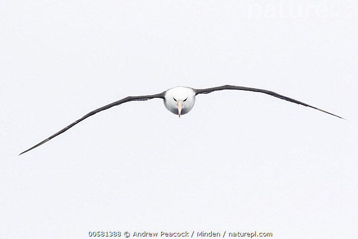 Black-browed Albatross (Thalassarche melanophrys) flying, Southern Ocean  ,  Adult, Approaching, Black-browed Albatross, Color Image, Day, Endangered Species, Flying, Front View, Full Length, Horizontal, Looking at Camera, Nobody, One Animal, Outdoors, Photography, Seabird, Southern Ocean, Thalassarche melanophrys, Wildlife,Black-browed Albatross,Southern Ocean  ,  Andrew Peacock