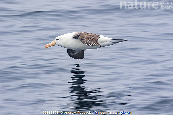 Black-browed Albatross (Thalassarche melanophrys) flying, Southern Ocean, Adult, Black-browed Albatross, Blurred Motion, Color Image, Day, Endangered Species, Flying, Full Length, Horizontal, Nobody, One Animal, Outdoors, Photography, Seabird, Side View, Southern Ocean, Thalassarche melanophrys, Wildlife,Black-browed Albatross,Southern Ocean, Andrew Peacock