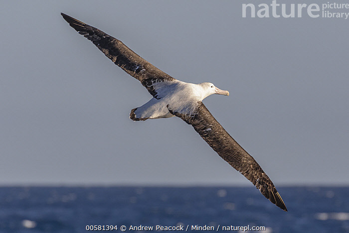 Wandering Albatross (Diomedea exulans) flying, Southern Ocean, Adult, Color Image, Day, Diomedea exulans, Flying, Full Length, Horizontal, Nobody, One Animal, Outdoors, Photography, Rear View, Seabird, Southern Ocean, Threatened Species, Vulnerable Species, Wandering Albatross, Wildlife,Wandering Albatross,Southern Ocean, Andrew Peacock