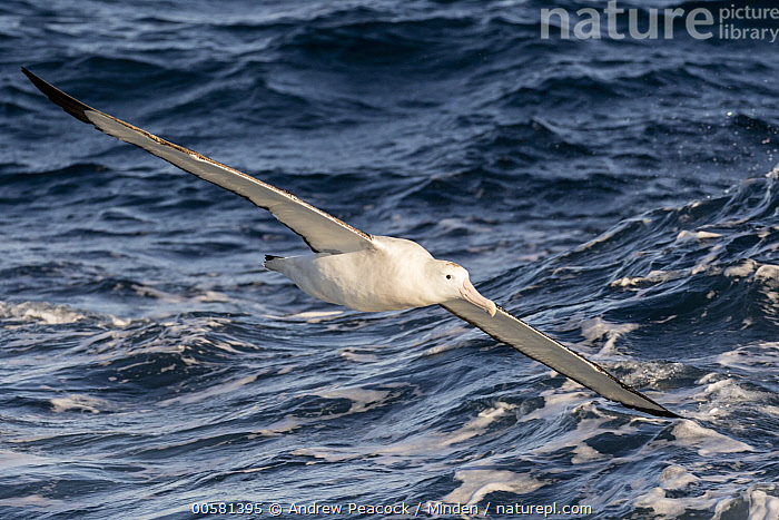 Wandering Albatross (Diomedea exulans) flying, Southern Ocean, Adult, Color Image, Day, Diomedea exulans, Flying, Full Length, Horizontal, Nobody, One Animal, Outdoors, Photography, Seabird, Side View, Southern Ocean, Threatened Species, Vulnerable Species, Wandering Albatross, Wildlife,Wandering Albatross,Southern Ocean, Andrew Peacock
