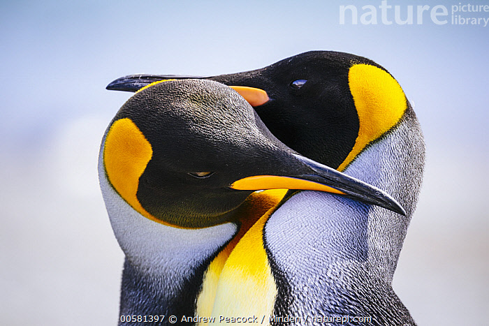 King Penguin (Aptenodytes patagonicus) pair courting, Salisbury Plain, South Georgia Island  ,  Adult, Affection, Aptenodytes patagonicus, Color Image, Courting, Day, Female, Head and Shoulders, Horizontal, King Penguin, Male, Nobody, Outdoors, Photography, Salisbury Plain, Seabird, Side View, South Georgia Island, Tenderness, Touching, Two Animals, Wildlife,King Penguin,South Georgia Island  ,  Andrew Peacock