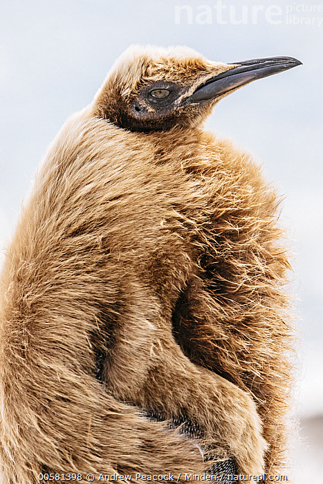 King Penguin (Aptenodytes patagonicus) chick with feathers being blown by the wind, Salisbury Plain, South Georgia Island  ,  Aptenodytes patagonicus, Baby, Chick, Color Image, Day, King Penguin, Nobody, One Animal, Outdoors, Photography, Salisbury Plain, Seabird, Side View, South Georgia Island, Three Quarter Length, Vertical, Wildlife, Wind,King Penguin,South Georgia Island  ,  Andrew Peacock