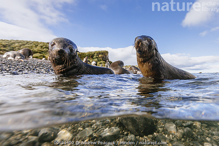 Antarctic Fur Seal (Arctocephalus gazella) pups in shallow water, Prion Island, South Georgia Island  ,  Animal in Habitat, Antarctic Fur Seal, Arctocephalus gazella, Baby, Beach, Coast, Color Image, Cute, Day, Four Animals, Full Length, Horizontal, Looking at Camera, Marine Mammal, Nobody, Outdoors, Photography, Prion Island, Pup, Side View, South Georgia Island, Split View, Split-view, Underwater, Wildlife,Antarctic Fur Seal,South Georgia Island  ,  Andrew Peacock