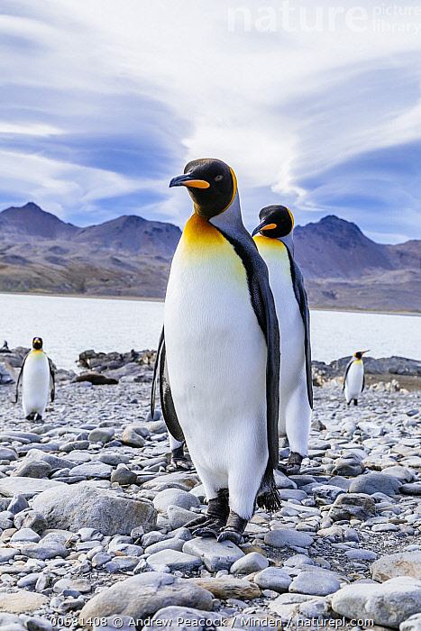 King Penguin (Aptenodytes patagonicus) group on beach, Fortuna Bay, South Georgia Island  ,  Adult, Animal in Habitat, Aptenodytes patagonicus, Beach, Color Image, Day, Fortuna Bay, Four Animals, Front View, Full Length, King Penguin, Nobody, Outdoors, Photography, Seabird, South Georgia Island, Vertical, Wildlife,King Penguin,South Georgia Island  ,  Andrew Peacock