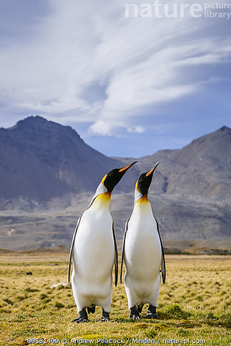 King Penguin (Aptenodytes patagonicus) pair courting, Fortuna Bay, South Georgia Island  ,  Adult, Aptenodytes patagonicus, Color Image, Courting, Day, Displaying, Female, Fortuna Bay, Front View, Full Length, King Penguin, Male, Nobody, Outdoors, Photography, Seabird, South Georgia Island, Two Animals, Vertical, Wildlife,King Penguin,South Georgia Island  ,  Andrew Peacock