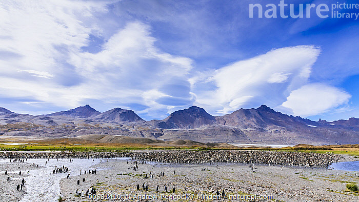 King Penguin (Aptenodytes patagonicus) colony on beach below mountains, Fortuna Bay, South Georgia Island, Adult, Animal in Landscape, Aptenodytes patagonicus, Beach, Color Image, Colony, Day, Fortuna Bay, Full Length, Horizontal, King Penguin, Large Group of Animals, Mountain, Nobody, Outdoors, Photography, Seabird, Side View, South Georgia Island, Wildlife,King Penguin,South Georgia Island, Andrew Peacock