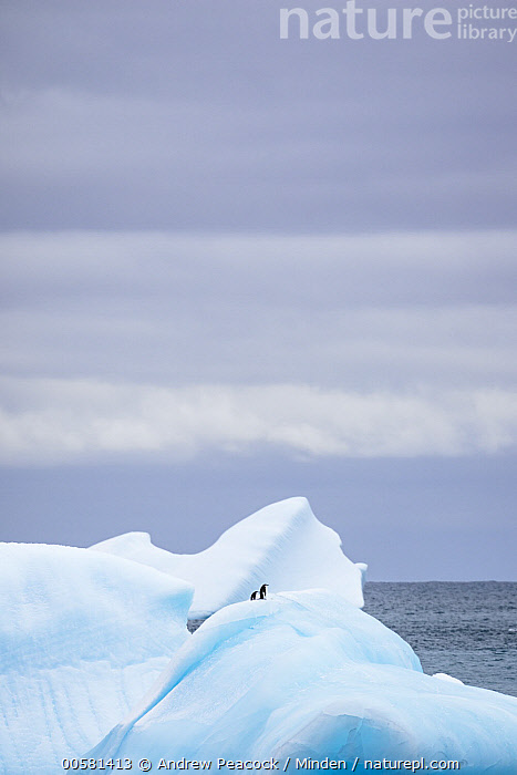 Chinstrap Penguin (Pygoscelis antarctica) pair on iceberg, Laurie Island, South Orkney Islands, Antarctica, Adult, Animal in Landscape, Antarctica, Chinstrap Penguin, Color Image, Day, Full Length, Iceberg, Laurie Island, Nobody, Outdoors, Photography, Pygoscelis antarctica, Seabird, Side View, South Orkney Islands, Two Animals, Vertical, Wildlife,Chinstrap Penguin,Antarctica, Andrew Peacock