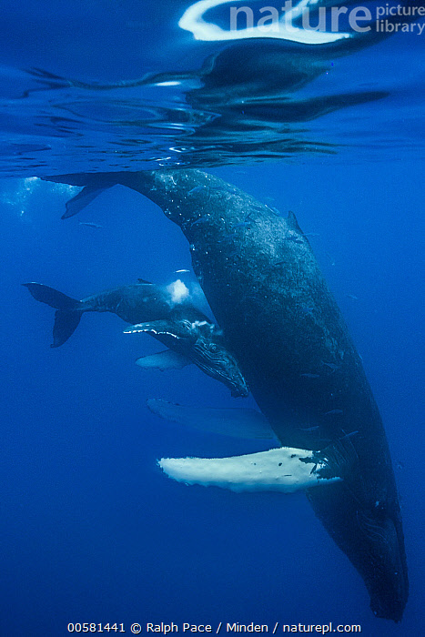 Humpback Whale (Megaptera novaeangliae) calf with milk after feeding, Maui, Hawaii, image taken under NMFS Permit # 19225, Adult, Baby, Calf, Color Image, Day, Feeding, Full Length, Humpback Whale, Marine Mammal, Maui, Megaptera novaeangliae, Milk, Nobody, Nursing, Outdoors, Parenting, Photography, Side View, Two Animals, Underwater, Vertical, Wildlife,Humpback Whale,Hawaii, USA, Ralph Pace