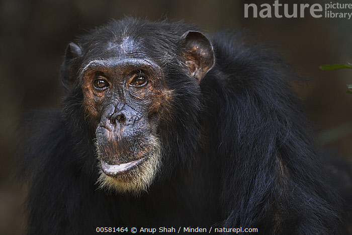 Eastern Chimpanzee (Pan troglodytes schweinfurthii) fourty-two year old male, named Freud, Gombe National Park, Tanzania  ,  Adult, Color Image, Day, Eastern Chimpanzee, Endangered Species, Gombe National Park, Horizontal, Looking at Camera, Male, Nobody, One Animal, Outdoors, Pan troglodytes schweinfurthii, Photography, Side View, Tanzania, Waist Up, Wildlife,Eastern Chimpanzee,Tanzania  ,  Anup Shah