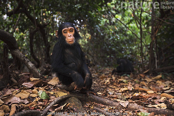 Eastern Chimpanzee (Pan troglodytes schweinfurthii) three year old baby male, named Fifty, Gombe National Park, Tanzania  ,  Animal in Habitat, Baby, Color Image, Day, Eastern Chimpanzee, Endangered Species, Full Length, Gombe National Park, Horizontal, Looking at Camera, Male, Nobody, One Animal, Outdoors, Pan troglodytes schweinfurthii, Photography, Rainforest, Side View, Tanzania, Wide-angle Lens, Wildlife, Young,Eastern Chimpanzee,Tanzania  ,  Anup Shah