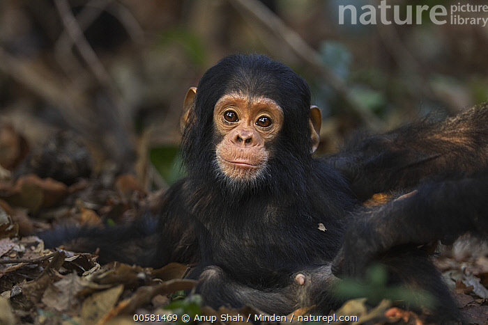 Eastern Chimpanzee (Pan troglodytes schweinfurthii) ten month old baby male, named Shwali, Gombe National Park, Tanzania  ,  Baby, Color Image, Cute, Day, Eastern Chimpanzee, Endangered Species, Front View, Gombe National Park, Horizontal, Looking at Camera, Male, Nobody, One Animal, Outdoors, Pan troglodytes schweinfurthii, Photography, Tanzania, Three Quarter Length, Wildlife, Young,Eastern Chimpanzee,Tanzania  ,  Anup Shah