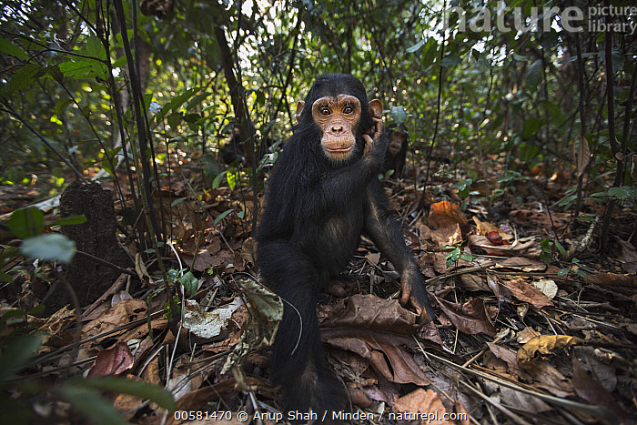 Eastern Chimpanzee (Pan troglodytes schweinfurthii) three year old baby male, named Fifty, Gombe National Park, Tanzania  ,  Animal in Habitat, Baby, Color Image, Cute, Day, Eastern Chimpanzee, Endangered Species, Gombe National Park, Horizontal, Looking at Camera, Male, Nobody, Outdoors, Pan troglodytes schweinfurthii, Photography, Rainforest, Side View, Tanzania, Three Quarter Length, Two Animals, Wide-angle Lens, Wildlife, Young,Eastern Chimpanzee,Tanzania  ,  Anup Shah