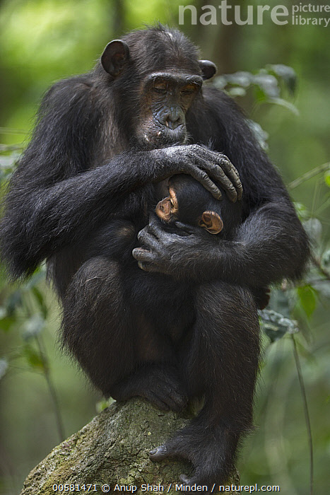 Eastern Chimpanzee (Pan troglodytes schweinfurthii) twenty-two year old female, named Schweini, holding her ten month old infant son, named Shwali, Gombe National Park, Tanzania  ,  Adult, Affection, Baby, Color Image, Day, Eastern Chimpanzee, Endangered Species, Female, Front View, Full Length, Gombe National Park, Holding, Male, Mother, Nobody, Outdoors, Pan troglodytes schweinfurthii, Parent, Parenting, Photography, Side View, Son, Tanzania, Tenderness, Three Quarter Length, Two Animals, Vertical, Wildlife, Young,Eastern Chimpanzee,Tanzania  ,  Anup Shah