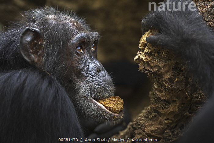 Eastern Chimpanzee (Pan troglodytes schweinfurthii) fifty-five year old female, named Sparrow, feeding on fallen palm tree, Gombe National Park, Tanzania  ,  Adult, Color Image, Day, Eastern Chimpanzee, Endangered Species, Feeding, Female, Gombe National Park, Head and Shoulders, Horizontal, Male, Nobody, One Animal, Outdoors, Pan troglodytes schweinfurthii, Photography, Side View, Tanzania, Wildlife,Eastern Chimpanzee,Tanzania  ,  Anup Shah