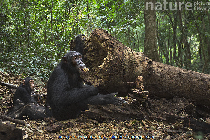 Eastern Chimpanzee (Pan troglodytes schweinfurthii) seventeen year old male, named Sampson, feeding on fallen palm tree, Gombe National Park, Tanzania, Adult, Animal in Habitat, Color Image, Day, Eastern Chimpanzee, Endangered Species, Feeding, Full Length, Gombe National Park, Horizontal, Male, Nobody, Outdoors, Palm, Pan troglodytes schweinfurthii, Photography, Rainforest, Side View, Tanzania, Three Animals, Wildlife,Eastern Chimpanzee,Tanzania, Anup Shah
