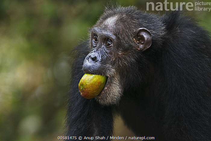 Eastern Chimpanzee (Pan troglodytes schweinfurthii) thirty-seven year old male, named Frodo, carrying mango, Gombe National Park, Tanzania, Adult, Carrying, Color Image, Day, Eastern Chimpanzee, Endangered Species, Feeding, Gombe National Park, Horizontal, Male, Mango, Nobody, One Animal, Outdoors, Pan troglodytes schweinfurthii, Photography, Side View, Tanzania, Waist Up, Wildlife,Eastern Chimpanzee,Tanzania, Anup Shah