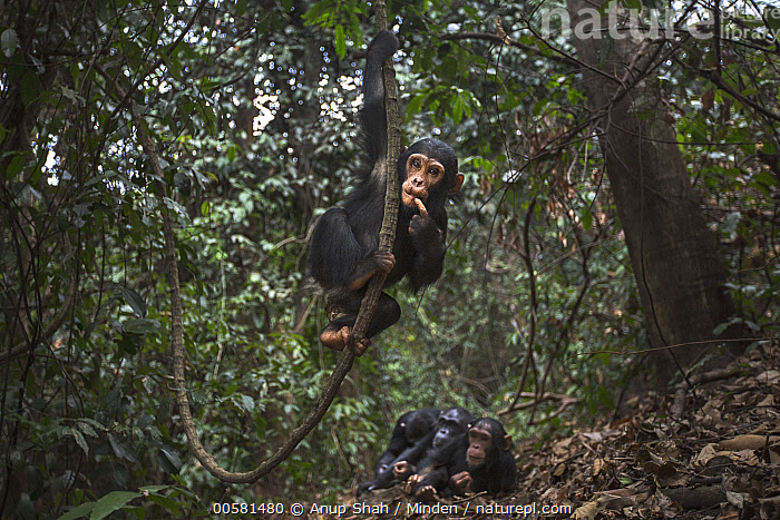 Eastern Chimpanzee (Pan troglodytes schweinfurthii) three year old baby male, named Fifty, swinging, Gombe National Park, Tanzania, Arboreal, Baby, Color Image, Day, Eastern Chimpanzee, Endangered Species, Four Animals, Front View, Full Length, Gombe National Park, Horizontal, Looking at Camera, Male, Nobody, Outdoors, Pan troglodytes schweinfurthii, Photography, Playing, Swinging, Tanzania, Wildlife, Young,Eastern Chimpanzee,Tanzania, Anup Shah