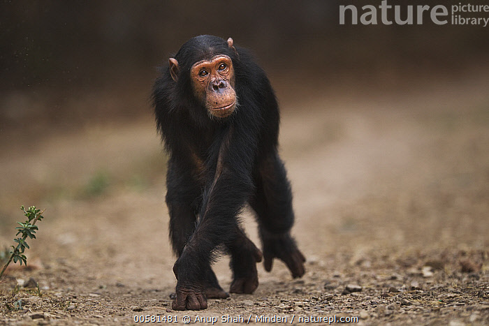 Eastern Chimpanzee (Pan troglodytes schweinfurthii) nine year old male, Named Gimli, Gombe National Park, Tanzania, Adult, Color Image, Day, Eastern Chimpanzee, Endangered Species, Front View, Full Length, Gombe National Park, Horizontal, Knucklewalking, Male, Nobody, One Animal, Outdoors, Pan troglodytes schweinfurthii, Photography, Tanzania, Wildlife,Eastern Chimpanzee,Tanzania, Anup Shah