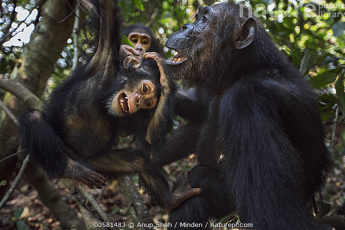 Eastern Chimpanzee (Pan troglodytes schweinfurthii) forty-two year old female, named Gremlin, playing with her two year old granddaughter, named Glamour, Gombe National Park, Tanzania, Adult, Baby, Color Image, Day, Eastern Chimpanzee, Endangered Species, Female, Front View, Gombe National Park, Granddaughter, Grandmother, Hanging, Horizontal, Interacting, Nobody, Outdoors, Pan troglodytes schweinfurthii, Photography, Playing, Side View, Tanzania, Three Animals, Three Quarter Length, Wildlife, Young,Eastern Chimpanzee,Tanzania, Anup Shah