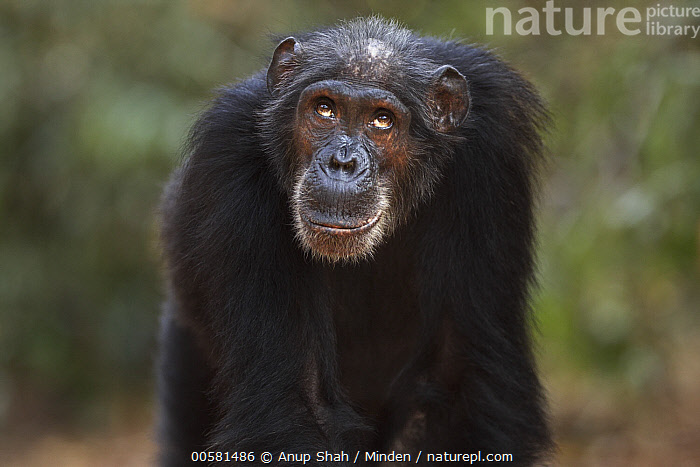 Eastern Chimpanzee (Pan troglodytes schweinfurthii) fifty-five year old female, named Sparrow, Gombe National Park, Tanzania, Adult, Color Image, Day, Eastern Chimpanzee, Endangered Species, Female, Front View, Gombe National Park, Horizontal, Looking Up, Male, Nobody, One Animal, Outdoors, Pan troglodytes schweinfurthii, Photography, Tanzania, Waist Up, Wildlife,Eastern Chimpanzee,Tanzania, Anup Shah
