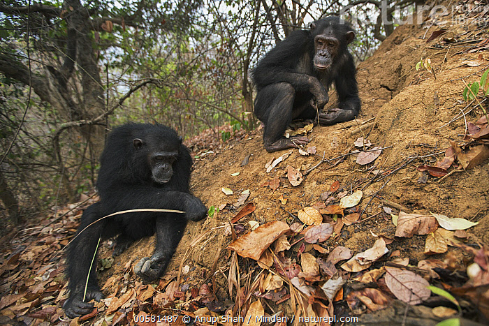 Eastern Chimpanzee (Pan troglodytes schweinfurthii) fifteen year old twins, named Golden and Glitter, termite fishing, Gombe National Park, Tanzania  ,  Adult, Color Image, Day, Eastern Chimpanzee, Endangered Species, Front View, Full Length, Gombe National Park, Horizontal, Nobody, Outdoors, Pan troglodytes schweinfurthii, Photography, Sibling, Tanzania, Termite Fishing, Tool Use, Twin, Two Animals, Wide-angle Lens, Wildlife,Eastern Chimpanzee,Tanzania  ,  Anup Shah