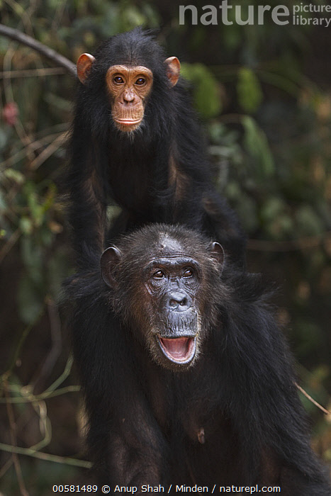 Eastern Chimpanzee (Pan troglodytes schweinfurthii) forty-two year old female, named Gremlin, carrying her four year old son, named Gizmo, Gombe National Park, Tanzania  ,  Adult, Baby, Color Image, Day, Eastern Chimpanzee, Endangered Species, Female, Front View, Full Length, Gombe National Park, Male, Mother, Nobody, Outdoors, Pan troglodytes schweinfurthii, Parent, Photography, Riding, Son, Tanzania, Three Quarter Length, Two Animals, Vertical, Wildlife, Young,Eastern Chimpanzee,Tanzania  ,  Anup Shah