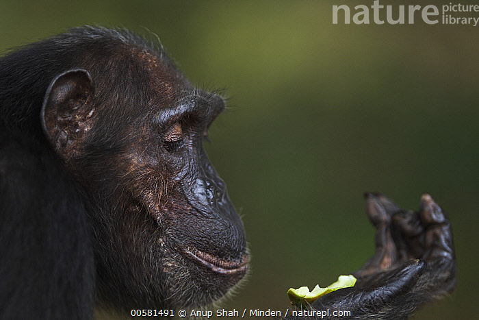 Eastern Chimpanzee (Pan troglodytes schweinfurthii) forty year old female, named Sandi, female feeding on fruit, Gombe National Park, Tanzania  ,  Adult, Color Image, Day, Eastern Chimpanzee, Endangered Species, Feeding, Female, Fruit, Gombe National Park, Head and Shoulders, Holding, Horizontal, Looking, Nobody, One Animal, Outdoors, Pan troglodytes schweinfurthii, Photography, Portrait, Profile, Side View, Tanzania, Wildlife,Eastern Chimpanzee,Tanzania  ,  Anup Shah