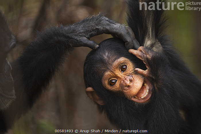 Eastern Chimpanzee (Pan troglodytes schweinfurthii) two year old baby male, named Duke, playing with adult, Gombe National Park, Tanzania, Adult, Baby, Color Image, Cute, Day, Eastern Chimpanzee, Endangered Species, Front View, Gombe National Park, Horizontal, Male, Nobody, Outdoors, Pan troglodytes schweinfurthii, Photography, Playing, Tanzania, Two Animals, Waist Up, Wildlife, Young,Eastern Chimpanzee,Tanzania, Anup Shah